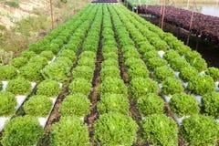 Organicznie hydroponic jarzynowy ogród zdjęcie royalty free