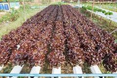 Organicznie hydroponic jarzynowy ogród obrazy stock