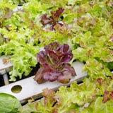 Organicznie hydroponic jarzynowy ogród w merket Fotografia Stock