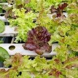 Organicznie hydroponic jarzynowy ogród w merket Obraz Stock