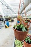 Organicznie hydroponic ornamentacyjnych rośliien pepiniery hodowlany gospodarstwo rolne Wielka nowożytna cieplarnia lub szklarnia obraz stock