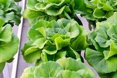 Organicznie hydroponic warzywa Zdjęcie Royalty Free