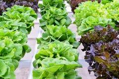 Organicznie hydroponic warzywa Fotografia Royalty Free