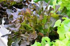Organicznie hydroponic warzywa Obraz Stock