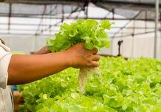 Organicznie hydroponic warzywa gospodarstwo rolne zdjęcia stock
