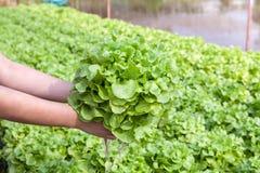 Organicznie hydroponic warzywo na ręce w ogródzie. obraz stock