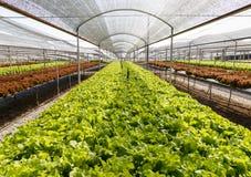 Organicznie hydroponiki sałaty kultywaci gospodarstwo rolne Fotografia Stock
