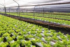 Organicznie hydroponiki sałaty kultywaci gospodarstwo rolne Obrazy Royalty Free