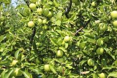Organicznie jabłka wiesza od gałąź w jabłczanym sadzie obraz stock