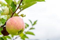 Organicznie jabłko z wodnymi kroplami Zdjęcia Royalty Free
