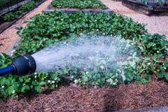 Organicznie Jarzynowego ogrodnictwa rośliny opieka zdjęcia stock