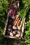 Organicznie jarzynowy koszykowy żniwo, jesieni rolnictwa jedzenie zdjęcia royalty free