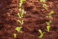 Organicznie jarzynowy kultywaci gospodarstwo rolne Świeża Choy suma, bujny ziemia godziny krajobrazu sezonu zimę Tajlandia jasne  obraz stock