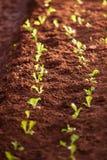 Organicznie jarzynowy kultywaci gospodarstwo rolne Świeża Choy suma, bujny ziemia godziny krajobrazu sezonu zimę Tajlandia jasne  zdjęcia royalty free