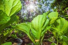 Organicznie jarzynowy kultywaci gospodarstwo rolne Świeża i bujny Choy suma Lato sezon jasne światło słoneczne Szeroki kąt Piękny zdjęcia stock