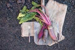 Organicznie korzeniowych warzyw burak, kłamający na prostackim płótnie i rydlu słuzyć wioskę Jesieni żniwa kopia miejsce obrazy stock