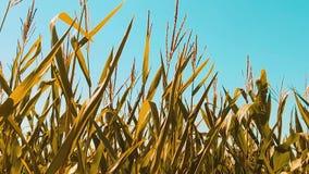 Organicznie kukurydzanego pola suchego stylu życia dojrzała kukurudza rolnictwo pojęcia rolnictwa kukurydzani zbiera naturalni pr zdjęcie wideo