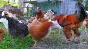 organicznie kurczaka gospodarstwo rolne, domowy pisklęcy bydlę uprawia ziemię pole, zielona trawa zbiory