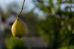 Organicznie lemmon Zdjęcie Stock