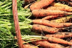 Organicznie marchewka od wiejskiego permaculture ja Zdjęcie Royalty Free
