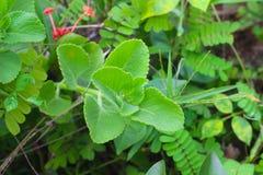 Organicznie meksykanin mennicy Plectranthus amboinicus Ayurvedic medycyna fotografia stock