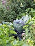 Organicznie mieszani warzywa na jarzynowego ogródu łóżku Obraz Royalty Free