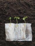Organicznie nasieniodajny kiełkowanie bez ziemi fotografia stock