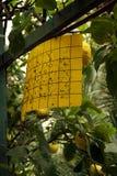 Organicznie ochrona w cytrusa owoc ogródzie Zdjęcie Stock