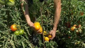 Organicznie owoc i Mężczyzna żniw pomidory w domu ogródzie zdjęcie wideo