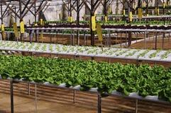 organicznie plantacja Fotografia Royalty Free