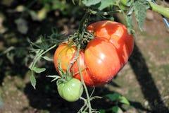 Organicznie pomidor w polu Fotografia Royalty Free