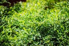 Organicznie ptaka oka zielony chili, ptasi oka chili, ptaka chili, ch Obrazy Royalty Free