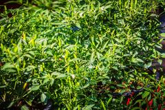 Organicznie ptaka oka zielony chili, ptasi oka chili, ptaka chili, ch Obraz Royalty Free