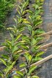 Organicznie rolnictwo w cieplarni w des, Quebe fotografia royalty free