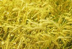 Organicznie rolnictwo, zboże planu pole Zdjęcie Royalty Free