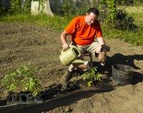 Organicznie rolnik Nawadnia Pomidorowej rośliny Obraz Royalty Free