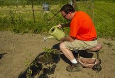Organicznie rolnik Nawadnia Pomidorowej rośliny Fotografia Stock
