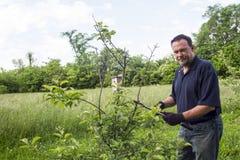 Organicznie rolnik Przycina Karłowatej jabłoni Fotografia Royalty Free