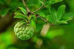 Organicznie rolny świeży custard jabłko zdjęcie stock