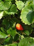organicznie rosnąć truskawki Obraz Royalty Free