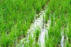 organicznie ryż Zdjęcia Royalty Free