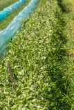 Organicznie Słodkich grochów krzaki R Pod słońcem zdjęcie stock