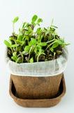 Organicznie słonecznik Kiełkuje w Białym tle Obrazy Stock