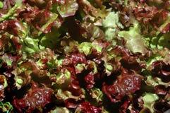 Organicznie sałatka Fotografia Stock