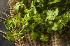 Organicznie Surowy Zielony Cilantro obrazy stock