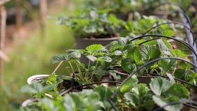 Organicznie truskawki gospodarstwo rolne, ogród przy Don Duong okręgiem, Da Lat miasta, zwiania Dong prowincja, Wietnam zbiory wideo