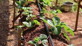 Organicznie truskawki gospodarstwo rolne, ogród przy Don Duong okręgiem, Da Lat miasta, zwiania Dong prowincja, Wietnam zbiory