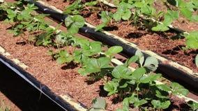 Organicznie truskawki gospodarstwo rolne, ogród przy Don Duong okręgiem, Da Lat miasta, zwiania Dong prowincja, Wietnam zdjęcie wideo