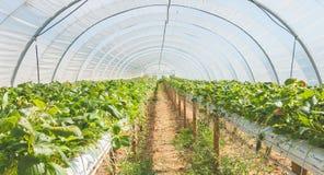 Organicznie truskawki w szklarni przy końcówką lato Obraz Royalty Free