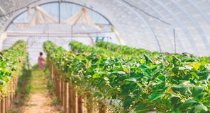 Organicznie truskawki w szklarni przy końcówką lato Zdjęcia Stock